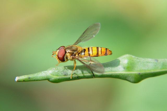 食蚜蠅4(5)