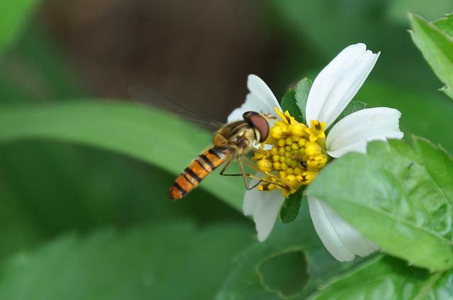 食蚜蠅4(9)