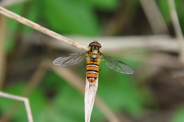 食蚜蠅4(12)