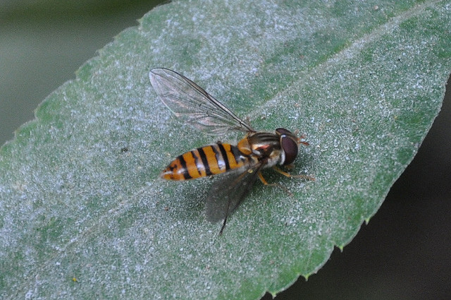 食蚜蠅4(13)