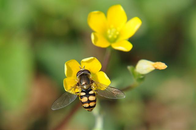 食蚜蠅3(4)