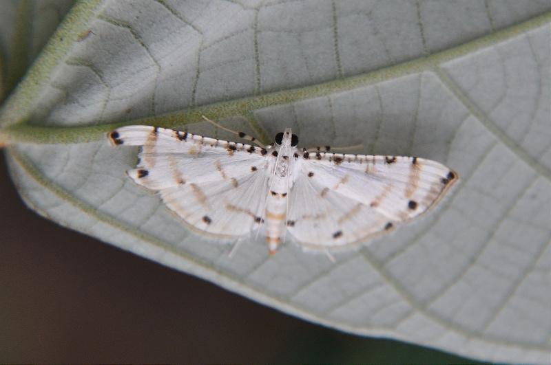泡桐捲葉野螟蛾