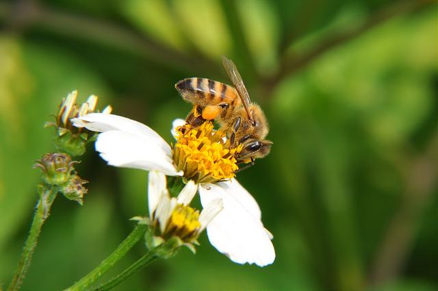 義大利蜂 (2)