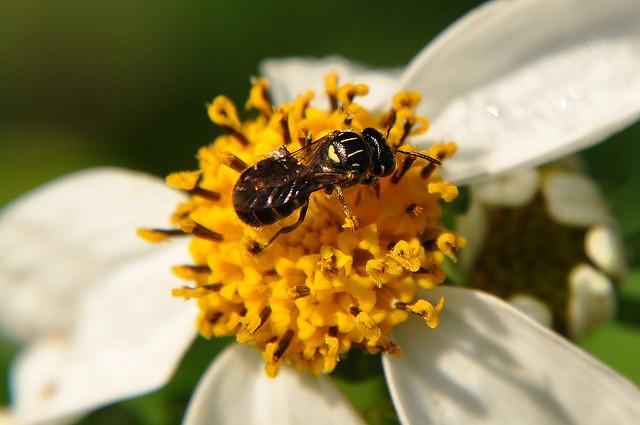 日本花蘆蜂高地亞種 (2)