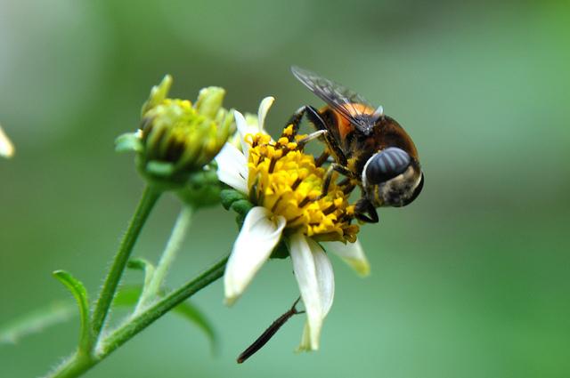 黃道蚜蠅 (1)