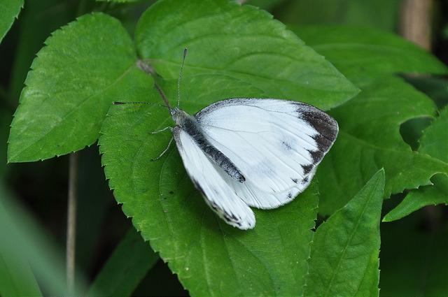紋白蝶 (2)