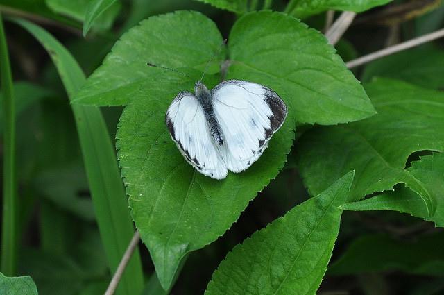 紋白蝶 (1)