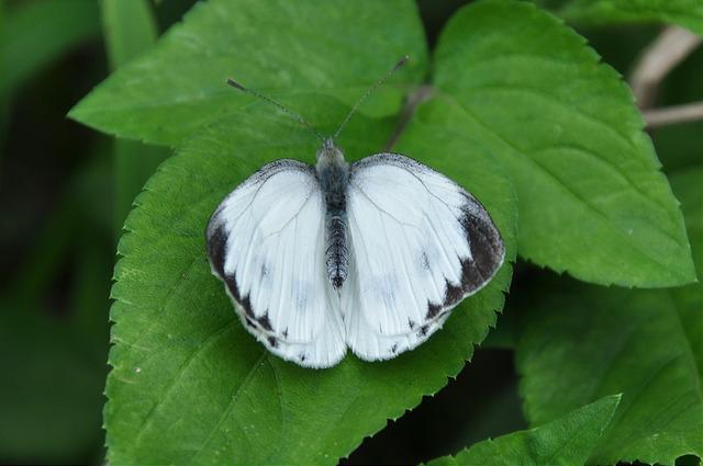 紋白蝶 (3)