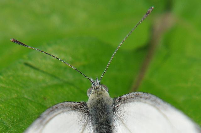 紋白蝶 (4)