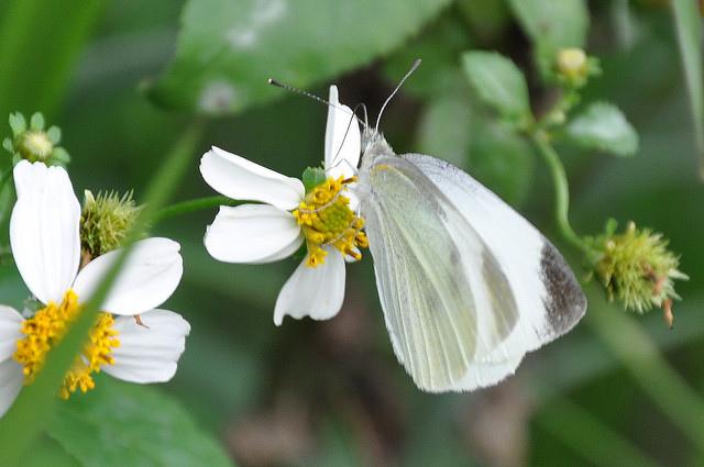 紋白蝶 (6)