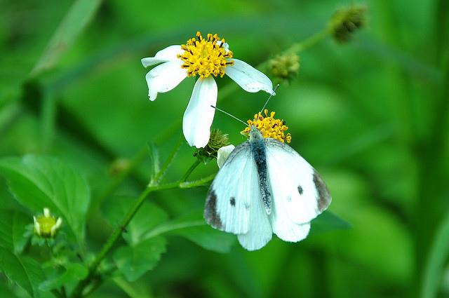 紋白蝶 (8)