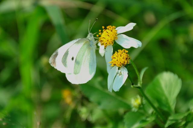 紋白蝶 (9)