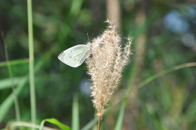 紋白蝶 (11)