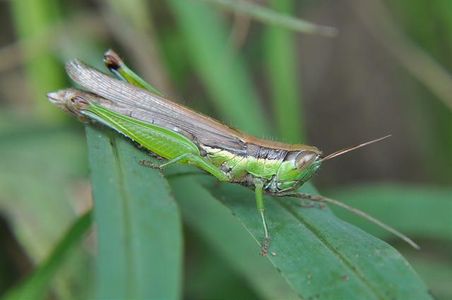 台灣稻蝗 (2)