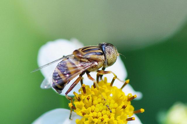 斑眼食蚜蠅11(3)