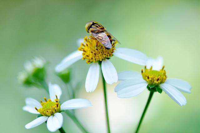 斑眼食蚜蠅11(1)