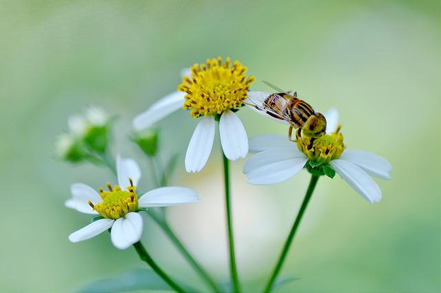 斑眼食蚜蠅11(2)