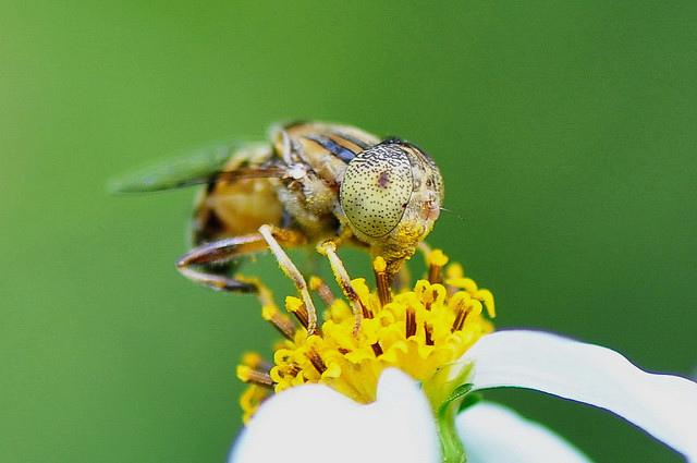斑眼食蚜蠅11(4)