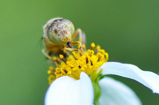 斑眼食蚜蠅11(5)