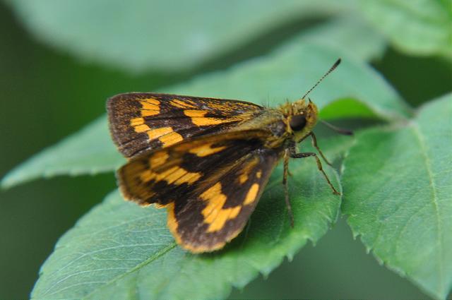 台灣黃斑弄蝶 (1)