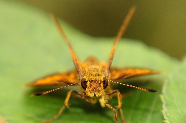 台灣黃斑弄蝶 (3)