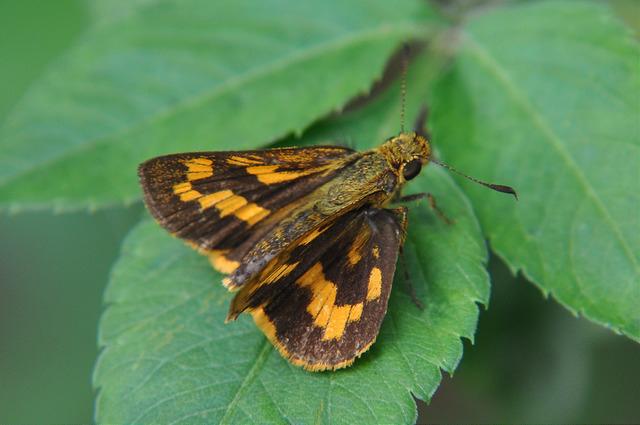 台灣黃斑弄蝶 (9)
