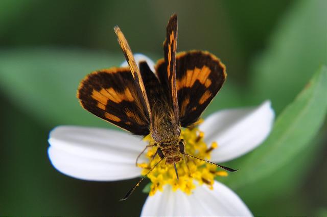 台灣黃斑弄蝶 (14)
