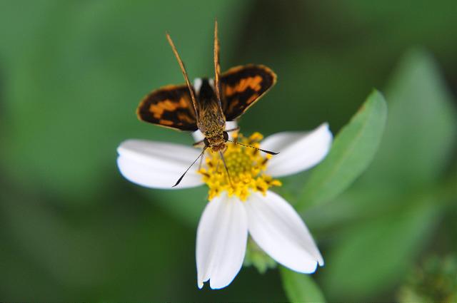 台灣黃斑弄蝶 (13)