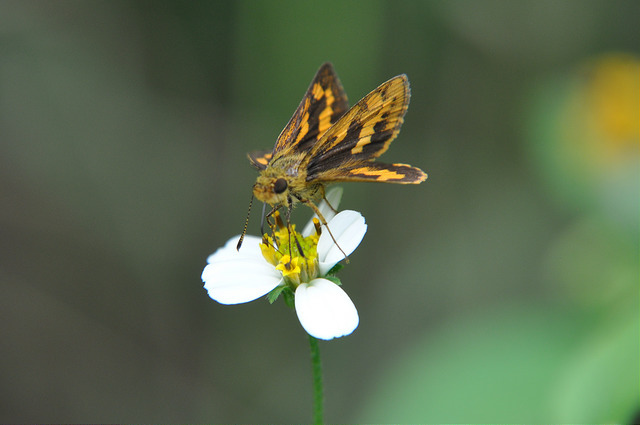台灣黃斑弄蝶 (16)