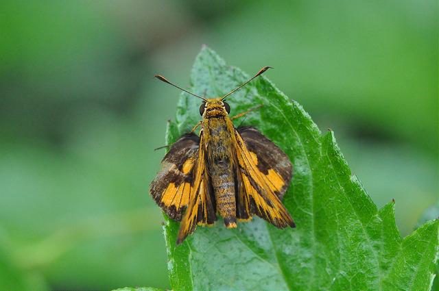 台灣黃斑弄蝶 (17)