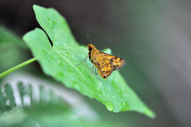 台灣黃斑弄蝶 (19)