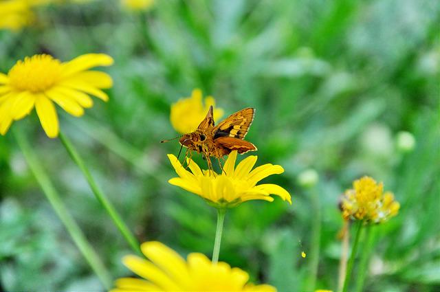 台灣黃斑弄蝶 (21)