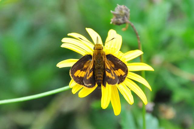 台灣黃斑弄蝶 (22)