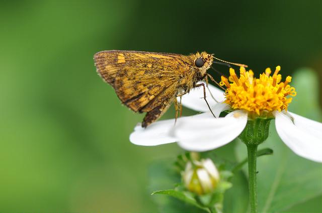 台灣黃斑弄蝶 (24)