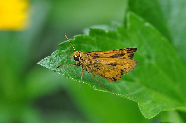 台灣黃斑弄蝶 (25)