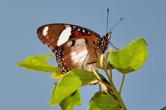 雌紅紫蛺蝶(雄) (5)