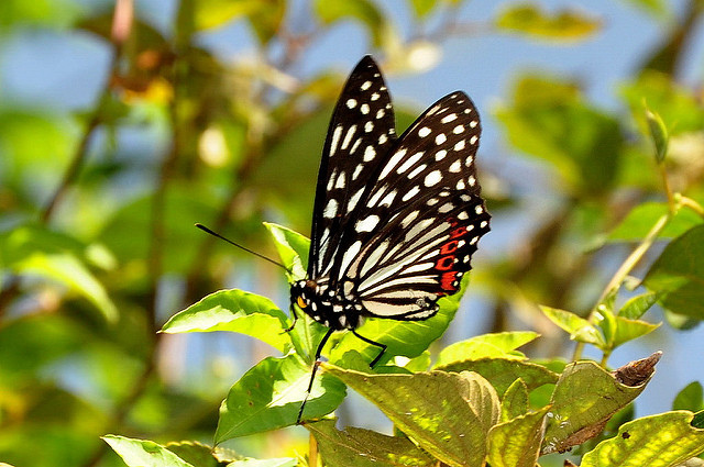 紅星斑蛺蝶 (2)