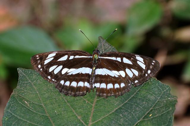 琉球三線蝶 (3)