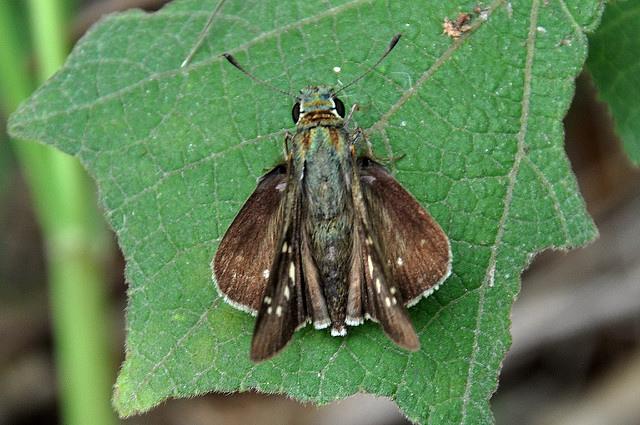 台灣單帶弄蝶 (1)