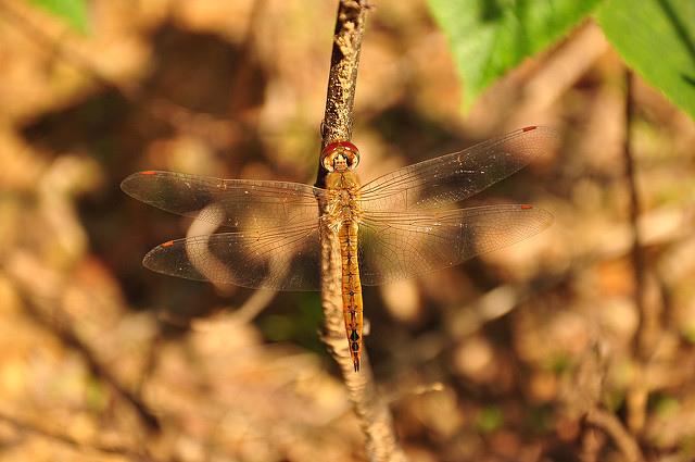薄翅蜻蜓 (2)