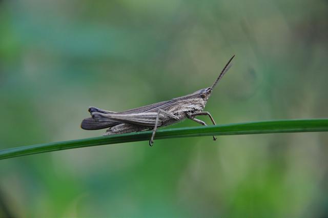 條紋褐蝗 (1)