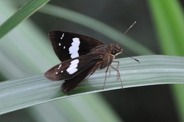 黑弄蝶 (2)
