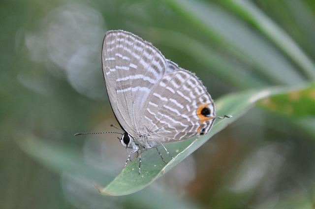 白波紋小灰蝶 (1)
