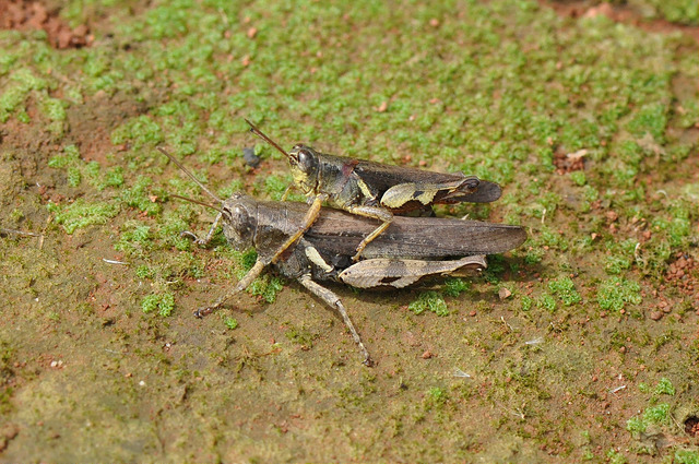 短角外斑腿蝗 (1)