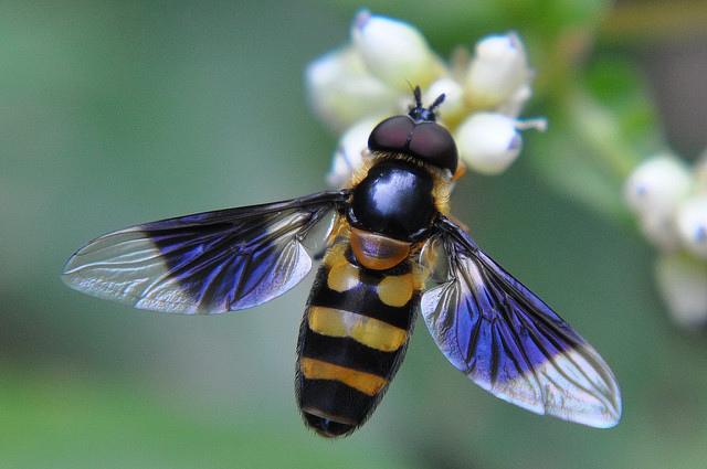 食蚜蠅1(6)