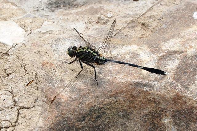 杜松蜻蜓 (1)