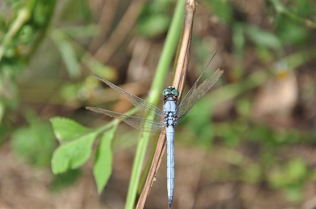 呂宋蜻蜓 (3)