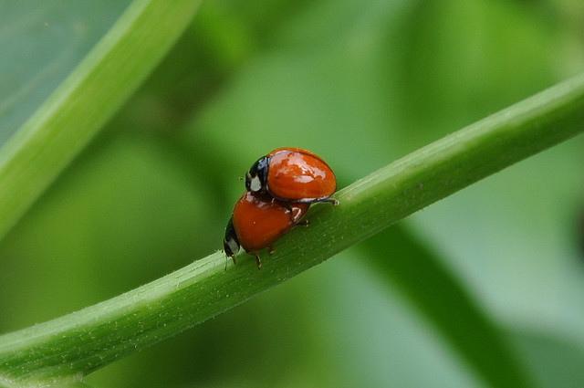 錨紋瓢蟲 (1)