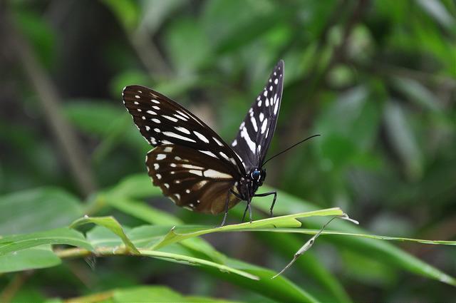 白條斑蔭蝶 (1)