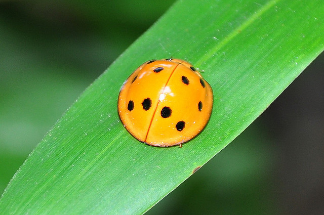 十斑大瓢蟲 (1)
